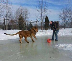 hockey lions