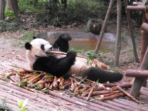 Adult Panda having some bamboo for breakfast.