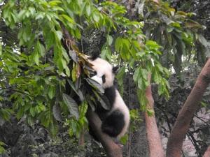 Baby Panda in a tree.. So cute!