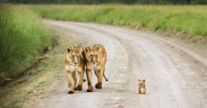 animalparents_lions