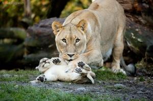animalparents_lions2