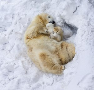 animalparents_polarbears2