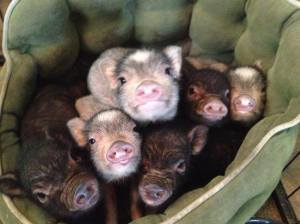 A group of baby piggies..