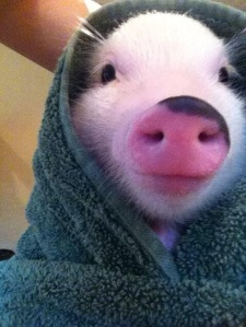 (Baby) Pig in a blanket.. too cute!