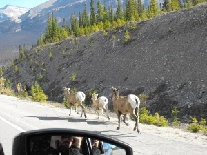 Some other friends we passed along the way in Banff National Park, as we headed back to Calgary!
